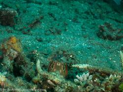 BD-090926-Lembeh-9264003-Odontodactylus-scyllarus-(Linnaeus.-1758)-[Reef-odontodactylid-mantis-shrimp].jpg